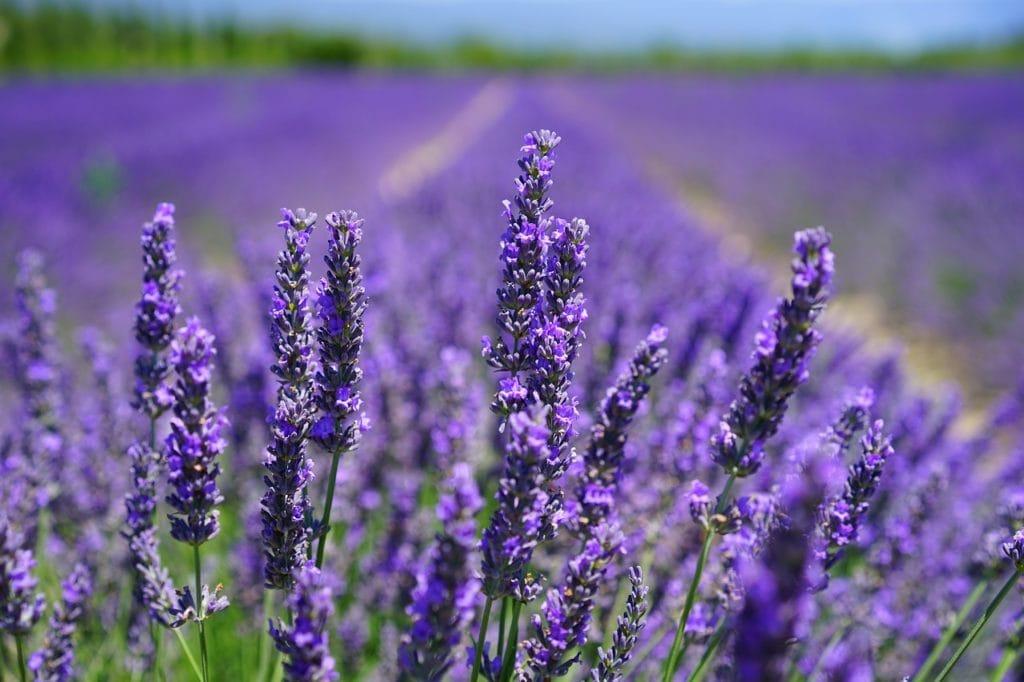 Wer Lavendel richtig wässert, kann sich an dieser schönen Blume lange erfreuen