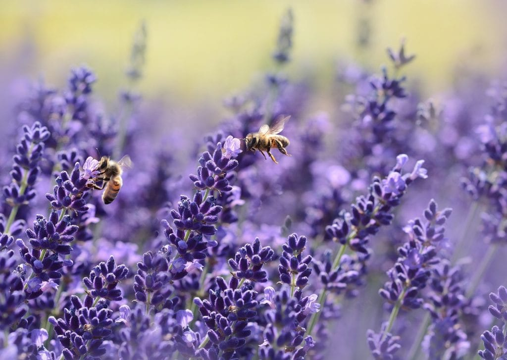 Lavendel mögen auch Insekten