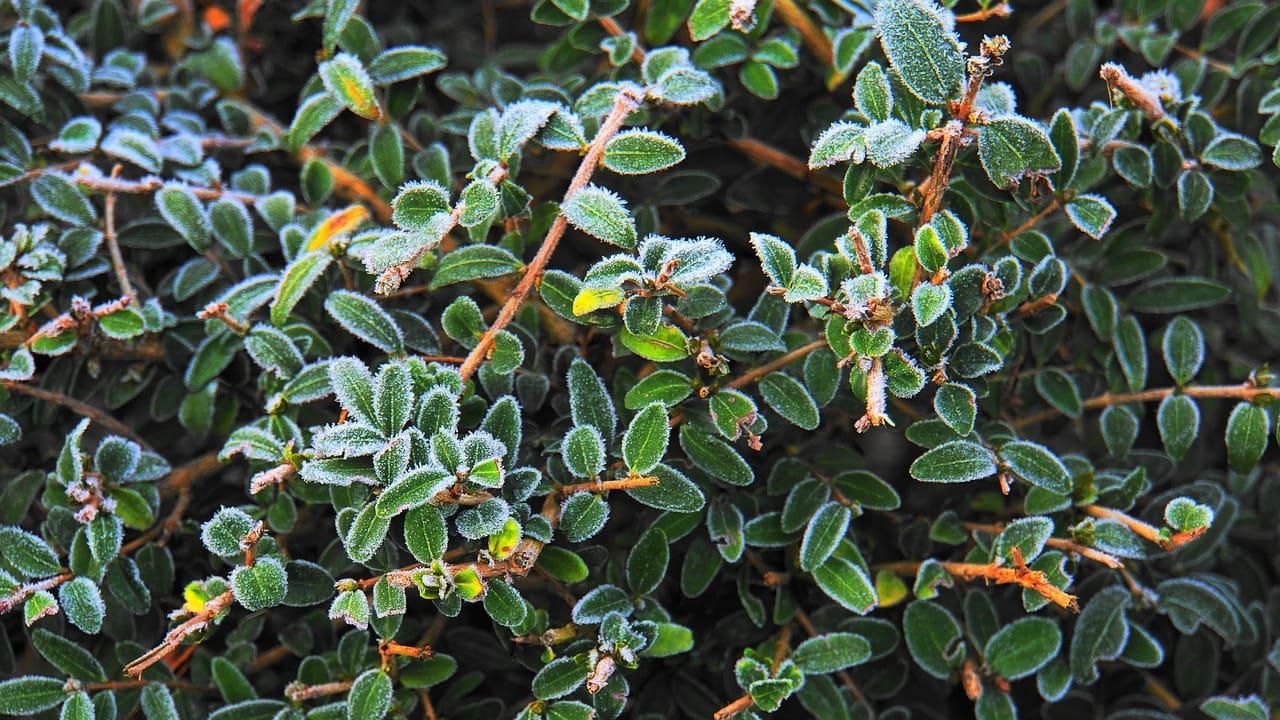 Buchsbaum im Winter