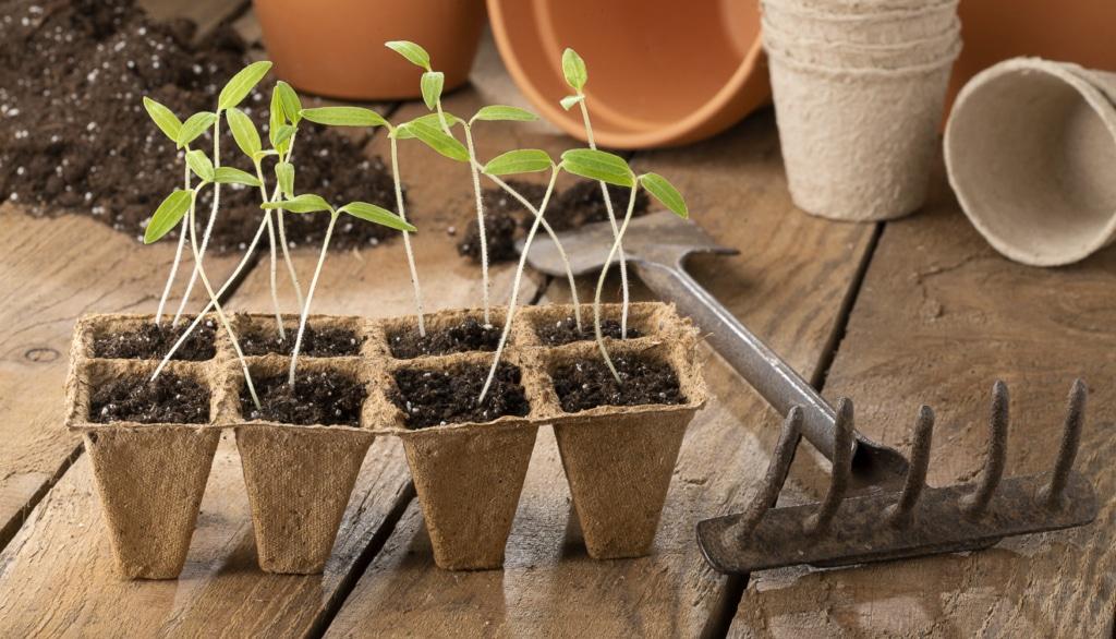 Tomaten-Pflänzchen werden im zeitigen Frühjahr drinnen im Warmen vorgezogen