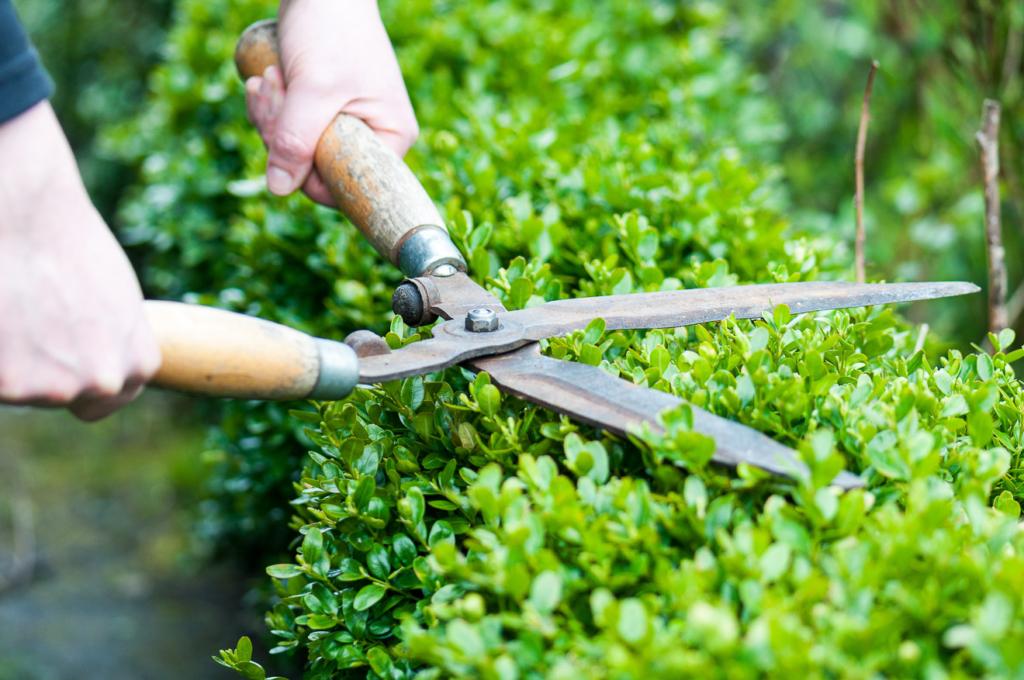 Ein Gärtner schneidet die Hecke